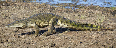 Crocodile walking on the shore of a lake to find spot for restin Stock Photos