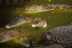 Crocodile watching you Royalty Free Stock Images