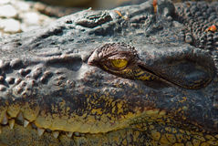 Crocodile watching you Royalty Free Stock Image