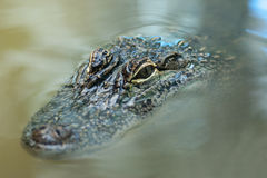 Crocodile in the water Stock Photography