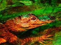 Crocodile in water Royalty Free Stock Images