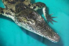 Crocodile in the water stock photos