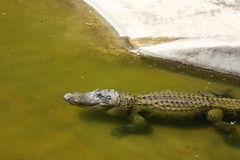 Crocodile in water Royalty Free Stock Photos