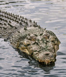 Crocodile in water Stock Photos