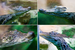 Crocodile in the water Royalty Free Stock Image