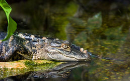 Crocodile in water. Head of a crocodile resting in water Royalty Free Stock Image