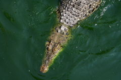 Crocodile in water. Crocodile in the crocodile farm in Bangkok Stock Photo
