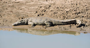 Crocodile at the Water Hole Stock Photos