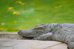 Crocodile by water Royalty Free Stock Photo