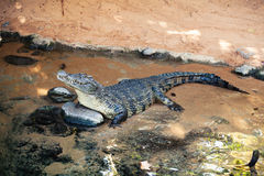 Crocodile in the water. Royalty Free Stock Photography
