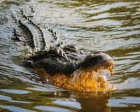 Crocodile on Water Opening Mouth Stock Photo