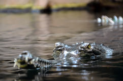 Crocodile in water photo Stock Image
