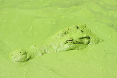 Crocodile  in water pond. Royalty Free Stock Photography