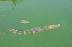 Crocodile in water. At at Samutprakarn crocodile farm & zoo , Thailand Royalty Free Stock Photography