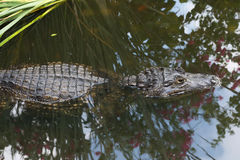 A Crocodile in the Water royalty free stock photography
