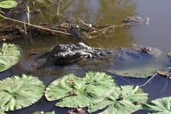 Crocodile in water Stock Image