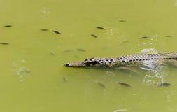 crocodile in wetland pond Royalty Free Stock Photo