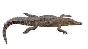 Crocodile on white Stock Images