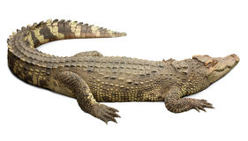 Crocodile on white background Royalty Free Stock Image