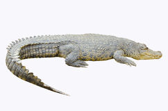 Crocodile on white background Stock Images