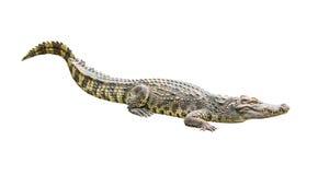 Crocodile on white background Stock Image