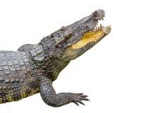 Crocodile on white background Royalty Free Stock Images