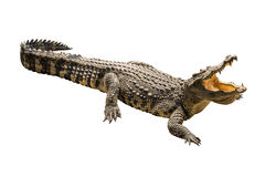 Crocodile on white background. Stock Photography
