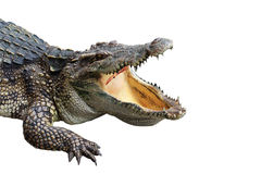 Crocodile on white-isolate Stock Photography