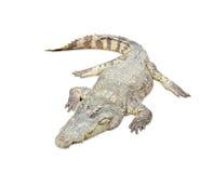 Crocodile on white Stock Photo