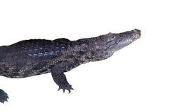 Crocodile white isolated royalty free stock photo