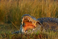 Crocodile who opens his jaw. A crocodile opens his jaw and we discover his sharp teeth and the inside of his mouth. It is on the shore where there is a lot of royalty free stock images
