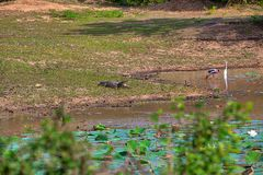 A crocodile with wide big open mouth is laying at a pond with colored stork and heron in the Yala Nationalpark Stock Image