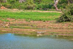 A crocodile with wide big open mouth is laying at a pond with colored stork and heron in the Yala Nationalpark Stock Images
