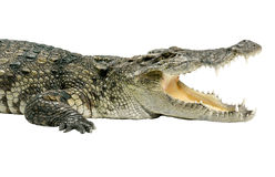 Half body crocodile wildlife isolated  Stock Photography