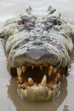 Crocodile& x27; s-Kopf Lizenzfreie Stockfotos