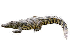 Crocodile yellow stripes on white background. Royalty Free Stock Photos