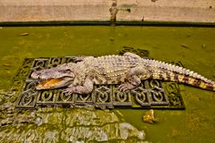The Crocodile in zoo Royalty Free Stock Photography