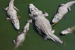 Crocodile in the zoo. A crocodile in the zoo Stock Photo