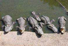 Crocodile in the zoo. A crocodile in the zoo Royalty Free Stock Photo