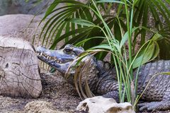 Crocodile in a zoo Royalty Free Stock Photos