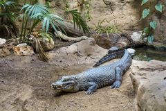 Crocodile in a zoo Royalty Free Stock Photo