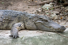 Crocodile in the zoo Royalty Free Stock Image