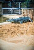 Crocodile in zoo Stock Photos