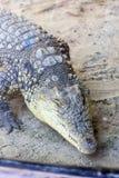 Crocodile Royalty Free Stock Photos