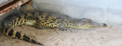 Crocodile at zoo. Crocodile in the cage at zoo stock photos