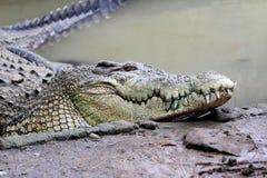 Crocodile Stock Image