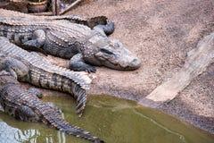 Crocodile in zoo. Larger sized crocodile in farm Royalty Free Stock Photo