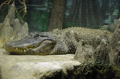 Crocodile in zoo Stock Images
