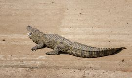 A Crocodile at the Zoo stock photo