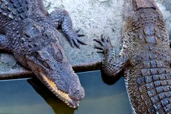 Crocodile in the zoo. Thailand Stock Photos